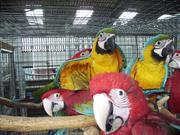 Выдающийся попугаи ара доступно