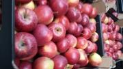Высококачественное  польское яблоко красных и зеленых сортов