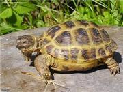Продам черепаху.