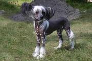 Племенной кобель Китайской Хохлатой собачки для вязки